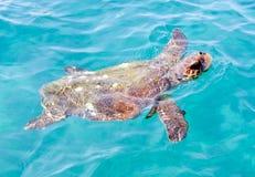 loggerheadsköldpadda Fotografering för Bildbyråer