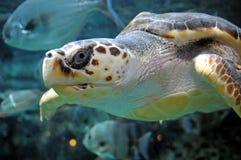 loggerheadsköldpadda royaltyfri bild