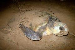 Loggerheadsköldpadda som bygga bo på den sandmåndag reposen Bundaberg Australien Fotografering för Bildbyråer