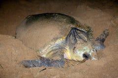 Loggerheadsköldpadda som bygga bo på den sandmåndag reposen Bundaberg Australien Arkivfoton