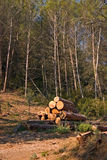 Logging. Cut logs stacked beside a logging road underneath a stand of trees Royalty Free Stock Photo