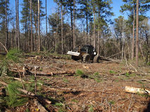 Logging. A logging skidder works in a pine forest Royalty Free Stock Images