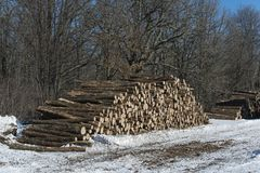 Logging in a central Minnesota forest. Oak logs in a Central Minnesota forest on a winter day royalty free stock image