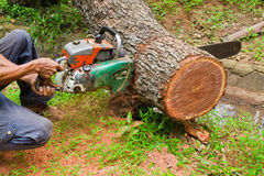 Logging with chain saw. By worker Stock Photography