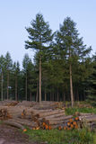 Logging field, at the edge of the forest Royalty Free Stock Images