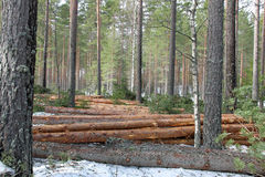 Logging and forest thinning at spring Royalty Free Stock Photography