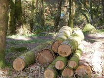 Logging. Pile of logs woodland stock piling ready for the woodmill foerest preservation Stock Photo