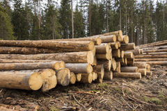 Logging. In the pine forest Stock Photos
