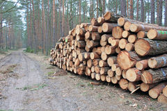 Logging pine log piles Royalty Free Stock Image