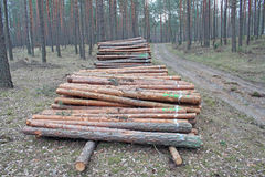 Logging pine log piles Stock Image