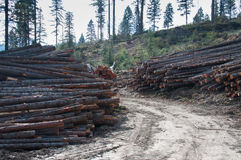 Logging. Stacks of cut logs in the forest Royalty Free Stock Photography