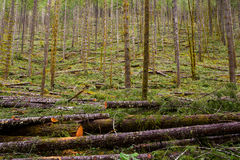 Logging Timber Industry Tree Thinning Royalty Free Stock Images