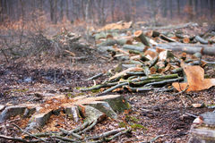 Logging trees in forest. Logging trees in an autumn forest Royalty Free Stock Photo