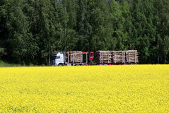 Logging Truck and Rapeseed Field. A logging truck and trailer transporting a load of timber logs through a landscape of a blooming rapeseed field and birch Stock Image