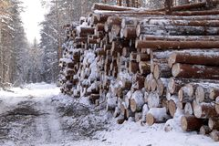 Logging wood in winter forest landscape pine. Season snow North royalty free stock photography
