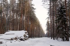 Logging wood in winter forest landscape pine. Season snow North stock photos