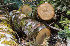 Logs of birch tree Stock Images