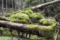 Logs covered with moss. Storm felled logs covered with moss in a mountain forest Royalty Free Stock Photography