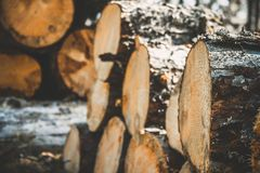 logs das árvores na floresta após abater Troncos de árvore abatidos registrar Foco seletivo na foto Imagem de Stock Royalty Free