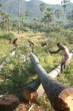Logs do palmyra do aparamento Imagens de Stock Royalty Free
