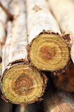 Logs from Eucalyptus tree. Cross section view of logs Royalty Free Stock Photography