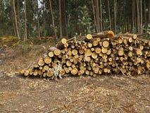 Logs of eucalyptus trees eucalyptus lumbering Stock Image