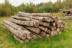 Logs for firewood drying in forest Stock Image