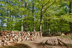 Logs in the forest. Clearing in the woods and logs stacked for loading Stock Image