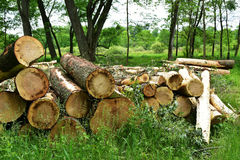 Logs in Forest. Freshly cut logs lying down in a forest in Wisconsin after being chopped down stock photo