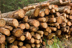 Logs From A Pine Royalty Free Stock Photography