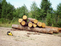 Logs on the ground. Felled logs of wood on the ground in the forest. Power saw Stock Photo