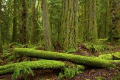 Logs noroestes pacíficos da árvore da floresta e das coníferas fotografia de stock