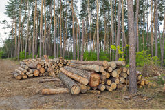 Logs in the pine forest Royalty Free Stock Image