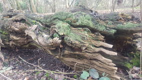 Logs podres Fotografia de Stock