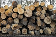 Logs stacked in a pile, timber extraction. Deforestation. royalty free stock photo