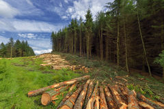 Logs of trees in the forest after felling, Scotland , Dollar Glen Stock Image