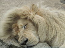 Loin King. Head photo shot of the king of the jungle sleeping good for commercial, portraits, screen saver etc Stock Photography