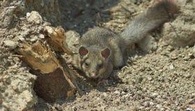 Loir - habitant en bois de forêt Image stock