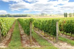 Loire Valley vines. Rows of vines growing in the Loire valley Stock Photography