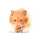 Lois o hamster Fotos de Stock