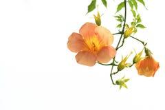 Loise grandiflora del thunb di Campsis Fotografia Stock