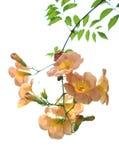 Loise grandiflora del thunb di Campsis Immagini Stock
