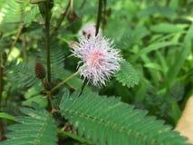Lojjaboti-Blume stockfotos