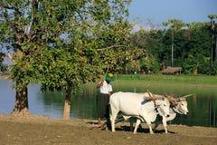 Lokal man som arbetar på ett lantgårdfält nära sjön, Amarapura, Myanmar Arkivbild