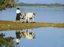 Lokal man som arbetar på ett lantgårdfält nära sjön, Amarapura, Myanmar Royaltyfri Foto