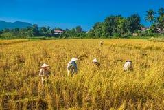 Lokale arbeiders die rijst in Laos oogsten stock afbeelding