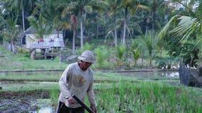 Lokale Balinese landbouwer die aan toerist spreken terwijl het lopen op padieveld stock videobeelden