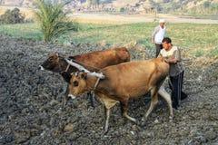 Lokale mensen die koeien voor het plaughing gebruiken stock afbeelding