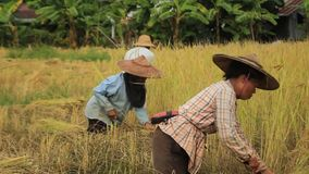 Lokale Noordelijke Thaise lokale rijstlandbouwers die oogsten, met de hand, weelderige rijstgewassen en hen presenteren in de zon stock footage