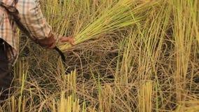 Lokale Noordelijke Thaise lokale rijstlandbouwers die oogsten, met de hand, weelderige rijstgewassen en hen presenteren in de zon